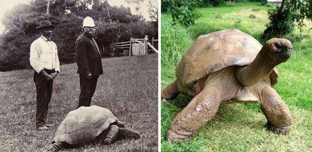 Джонатан, старейшая на планете черепаха (9 фото)