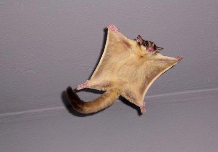 Удивительные зверьки сахарные сумчатые летяги (10 фото)