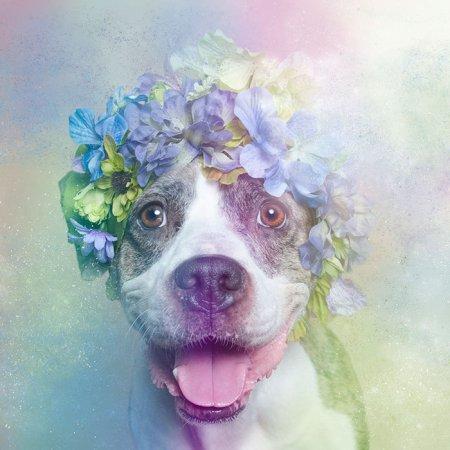 Питбули в цветах: фотопроект Софи Гаман (11 фото)