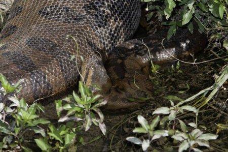 Гигантские анаконды Амазонки (9 фото)