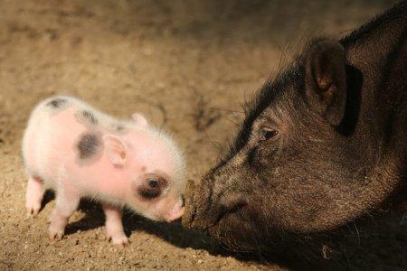 Пять микросвинок родились в зоопарке Вупперталя в Германии (20 фото)