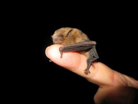 Свиноносая летучая мышь – самое маленькое млекопитающее на планете (6 фото)