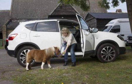 Эйсер – самая маленькая пони Великобритании (6 фото + видео)