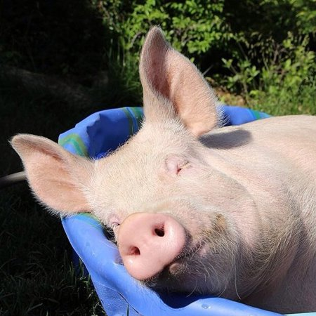 Счастливая свинка Эстер (28 фото)