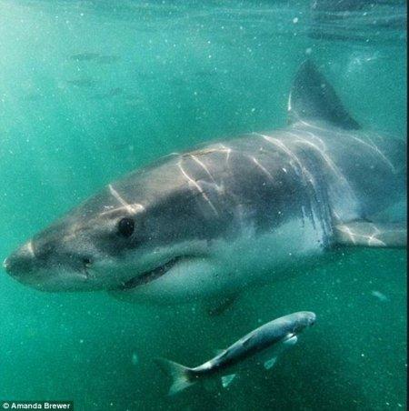 Снимок большой белой акулы, сделанный с близкого расстояния (9 фото)