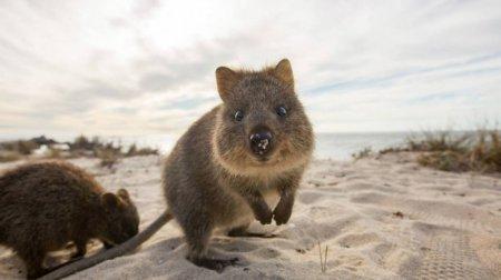 Улыбающиеся квокки, или короткохвостые кенгуру (16 фото)