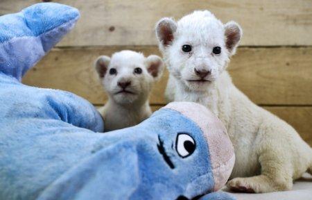 В белградском зоопарке родились львята редкого подвида (7 фото)