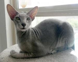 Топ 5: Самые дорогие кошки в мире