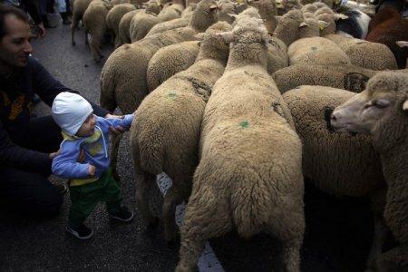 Ежегодный парад овец в Мадриде (9 фото)