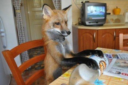Домашняя лиса Викси (9 фото)