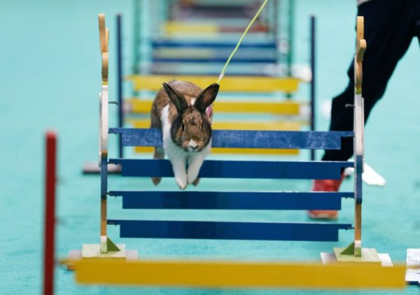 Соревнования по прыжкам в высоту среди кроликов на выставке животных в Штутгарте (17 фото)