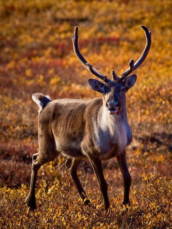 Животные, меняющие свой цвет в зависимости от времени года (10 фото)