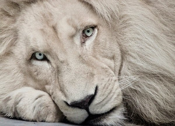 Белый лев (10 фото)