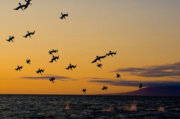 Голубоногая олуша (15 фото)