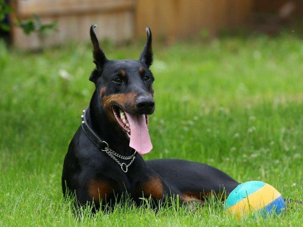 """Доберманы:  """"собаки дьявола"""" (10 фото)"""
