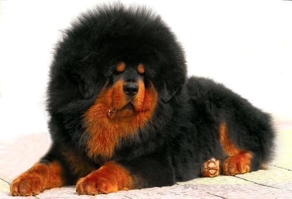 """Мастифф: """"собаки-старожилы"""" (9 фото)"""