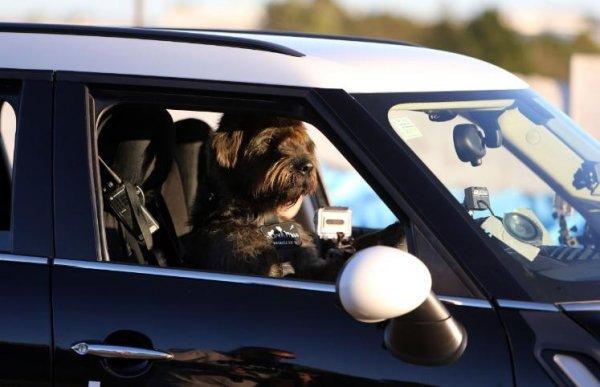 Собаки - водители
