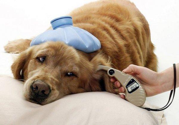 Ушные клещи у собак и кошек