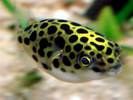 Самые опасные хищники для домашнего аквариума