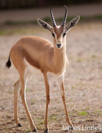Джейран – длинноногий житель пустынь
