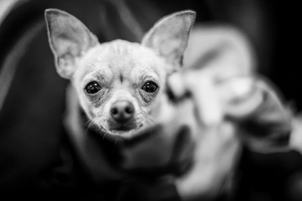 Собака-модница