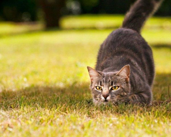 Особенности кошачьей охоты