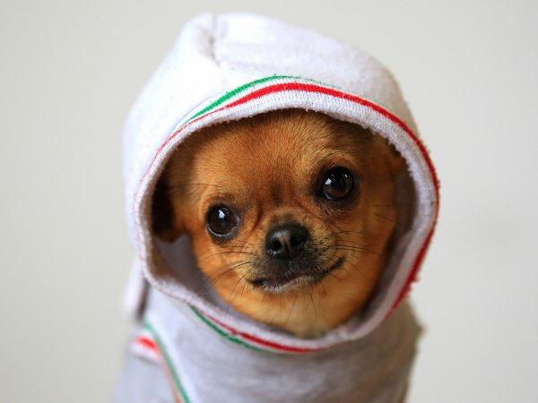 Чихуахуа - cамая древняя порода собак