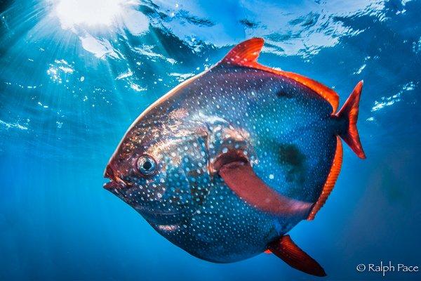 Биологи нашли первую в мире теплокровную рыбу