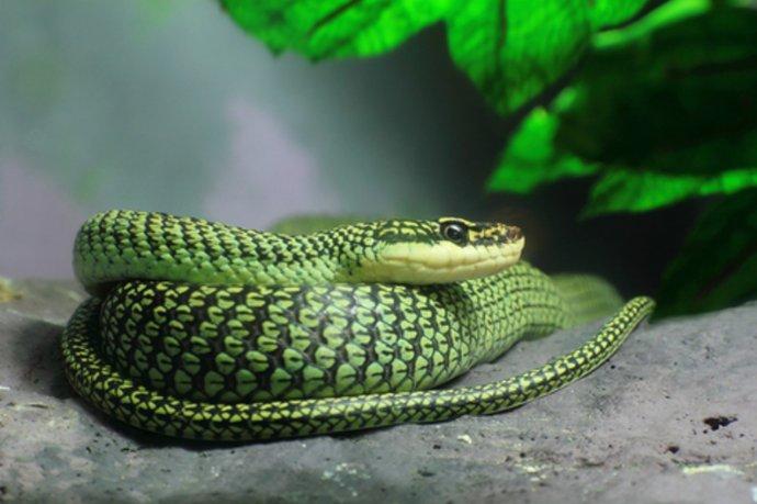 Летающая райская змея