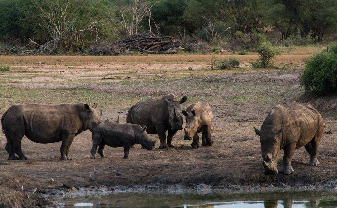 Носорог спас жеребенка зебры, вытащив его из грязи