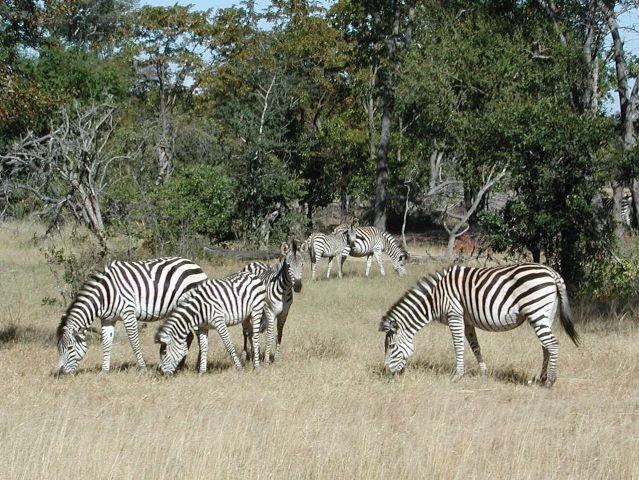 Почему зебры полосатые