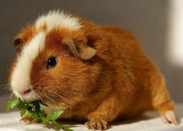 Почему морская свинка – «морская»?