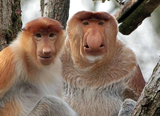 Носач – редкая обезьяна из Борнео
