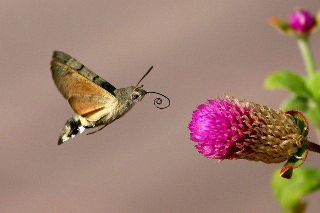 Бабочка бражник – «колибри» средней полосы