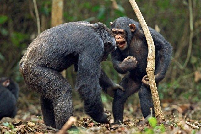 Дикие шимпанзе пристрастились к пальмовому вину