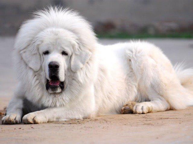 ТОП-10 самых редких пород собак в мире