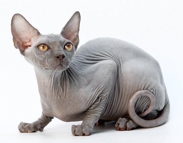 Кошки породы донской сфинкс