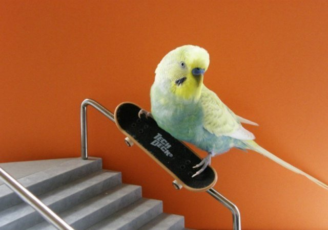 Попугаи на скейтах (12 фото и видео)