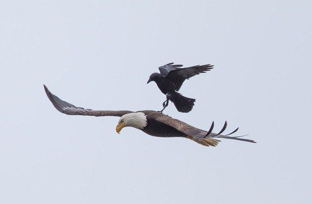 Приорлилась: наглая ворона прокатилась на спине орла (7 фото)