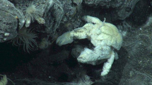 Ученые завершили исследования мохнатого краба-йети