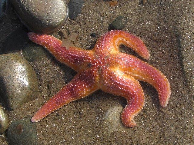 Как морские звезды удивили ученых