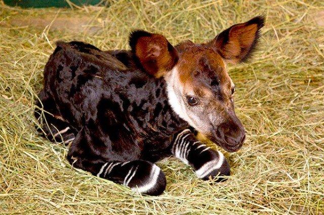 Окапи – лесной жираф родом из легенд