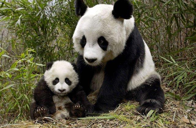 Ученые выяснили, как пандам удается выжить на скудной бамбуковой диете