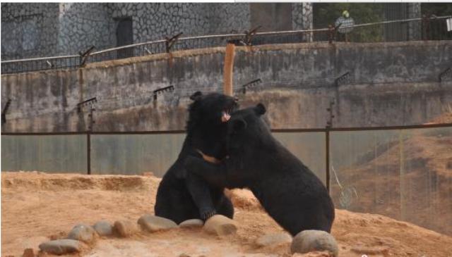 Китайский «собаковод» воспитал двух щенков, которые оказались медведями