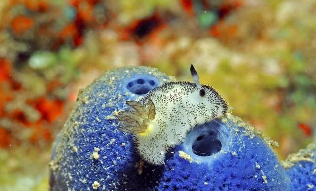 Морской кролик: кто же он на самом деле?