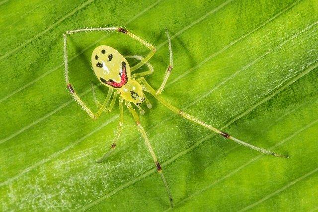 Самый веселый паук в мире