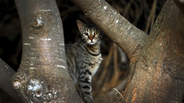 Австралия объявила войну кошкам