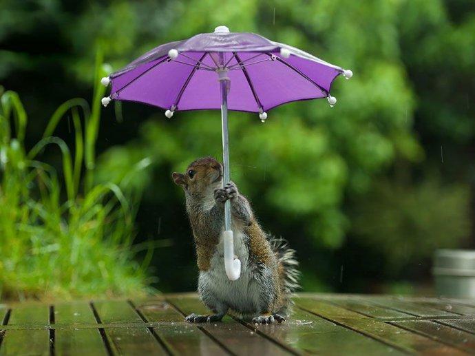 Белка прячется под зонтиком от дождя (5 фото)