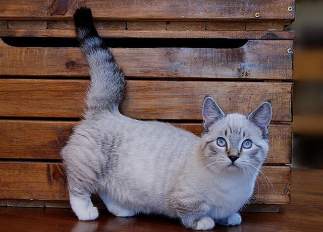 Манчкины – кошки-крошки