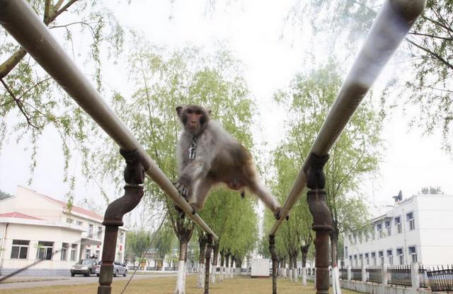 Китайские макаки приняты на службу в ВВС